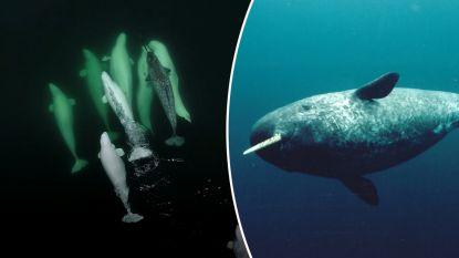 Unieke beelden: witte dolfijnen adopteren eenzame zee-eenhoorn