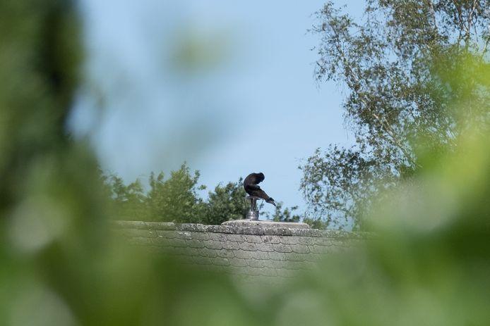 MUIZEN Kuifmakaakaapje Rojo wist te ontsnappen uit Dierenpark Planckendael