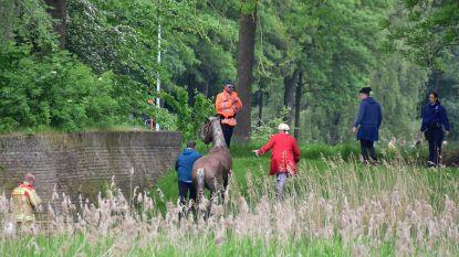 Drama vermeden: paarden slaan op hol