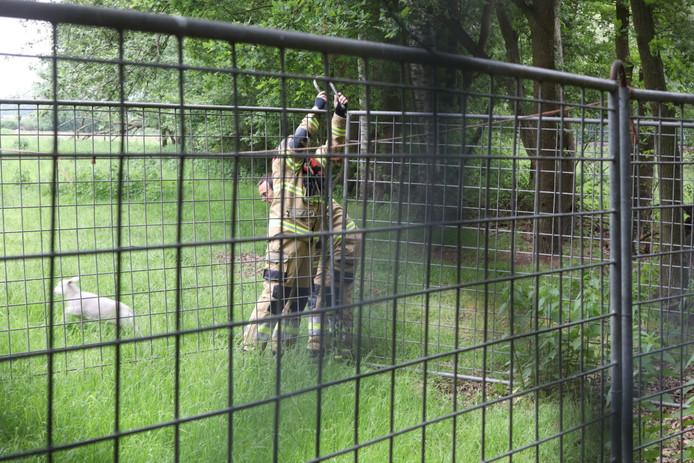 Brandweerlieden bevrijden lammetje in Boxtel