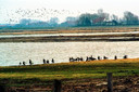 Broedvogels die het van natte en moerasachtige gebieden hebben baat bij de aanleg van natuurgebieden als Tureluur op Schouwen (foto)