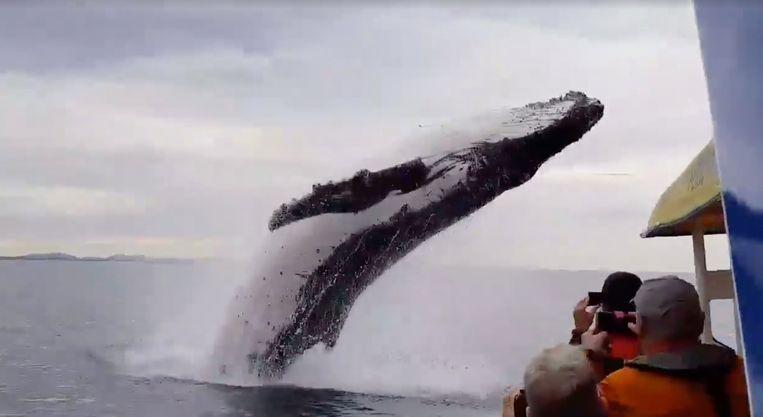 De bultrugwalvis verrast toeristen in New South Wales.