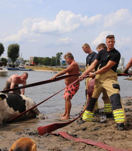 Badgasten en brandweer redden koe die vast zit in zand bij het Looveer