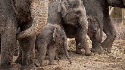 Planckendael creëert extra leefgebied voor olifant in India