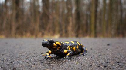 Op zoek naar vleermuizen, bosuilen en vuursalamanders