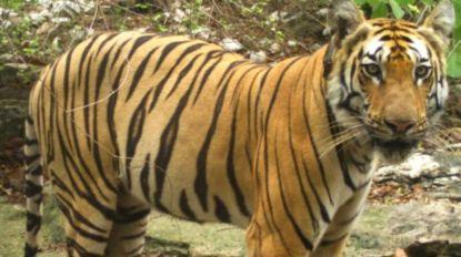 Tijger trekt 1.300 km door India op zoek naar een partner en een eigen stekje