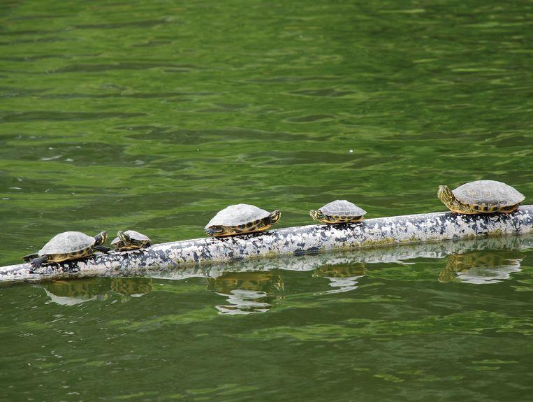 Jonge schildpadden zijn amper tien centimeter, maar worden al snel drie tot zes keer groter.