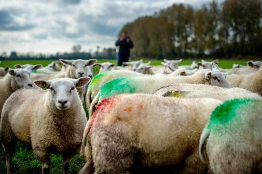 De schapen van Ton Bouman zijn weer gedekt. Dat is te zien aan de kleuren.