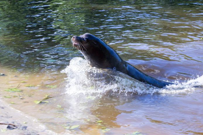 De Californische zeeleeuw