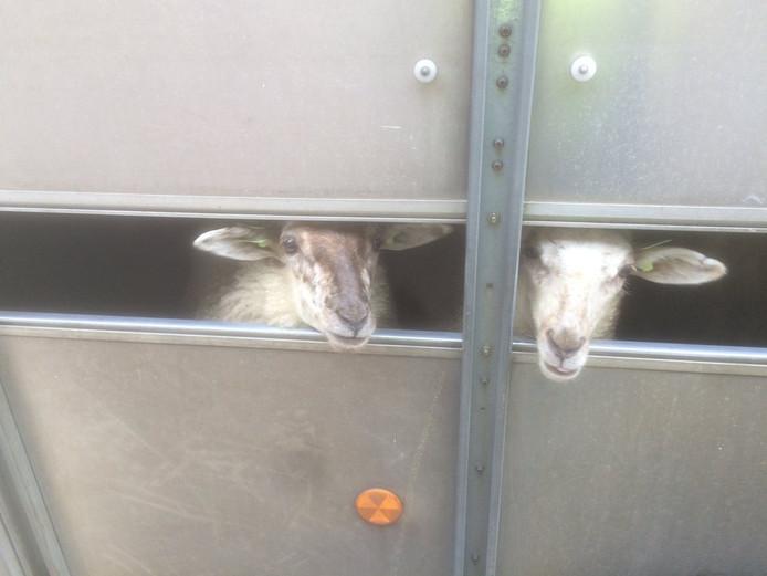 De schapen zaten in een trailer in Eersel
