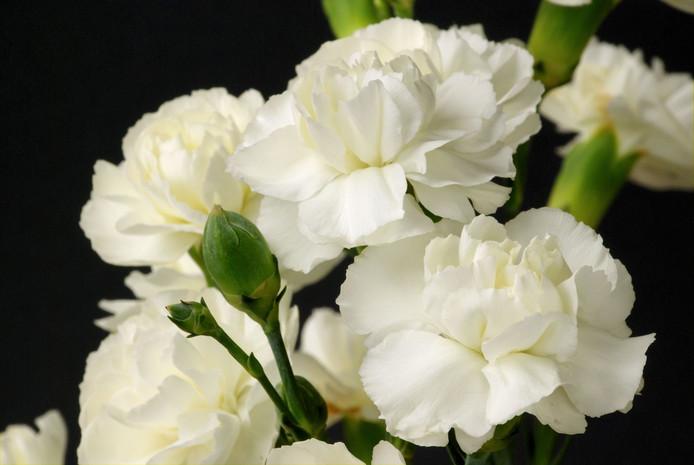 De witte anjer geldt als symbool van waardering voor oorlogsveteranen.