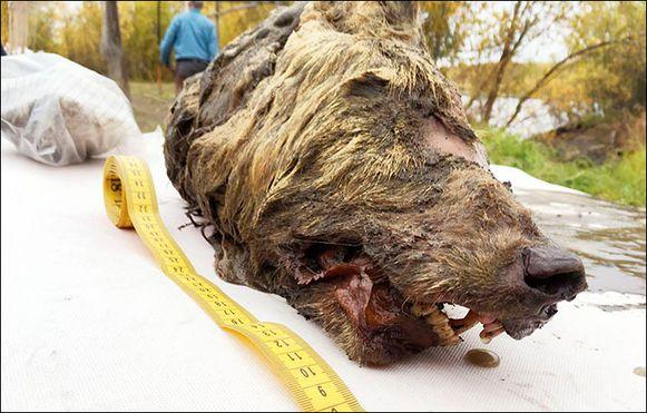 De kop is zo'n veertig centimeter lang, dat is de helft van het lichaam van een Siberische wolf.
