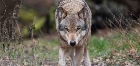 'Vijfheerenlanden moet meer doen om vee van boeren te beschermen tegen de wolf'