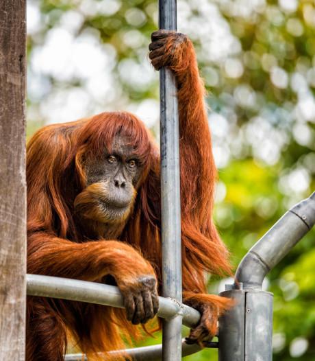 Oudste orang-oetan ter wereld (62) ingeslapen