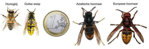 Hoe kan je  de Aziatische hoornaar herkennen?