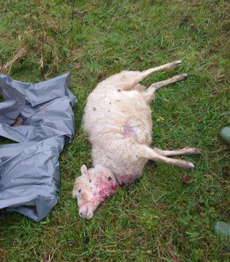 Zeker tien schapen gedood in Oss, vermoedelijk werk van wolf