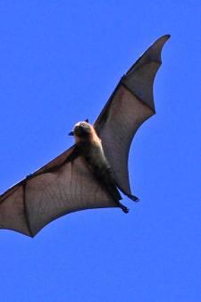 Mannen in oranje pakken zoeken in Schijndel naar vleermuizen