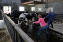 Boer Gerrit Netjes drijft met zijn dochter de koeien in de vrachtwagen.