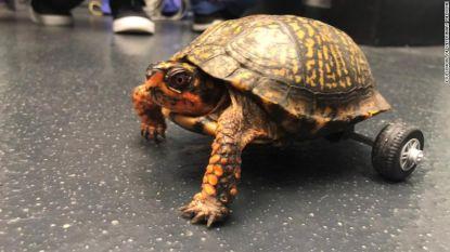 Gehandicapte Pedro is de snelste schildpad op twee wielen