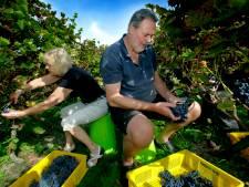Dordtse wijngaard beleeft topjaar dankzij de lange warme zomer