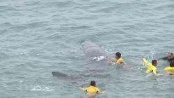 Ondanks meerdere reddingspogingen sterft jonge potvis toch voor kust van Peru