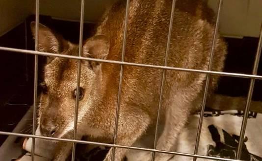 De wallaby in de opvang in Enschede, vlak nadat hij in Haaksbergen was gevangen.