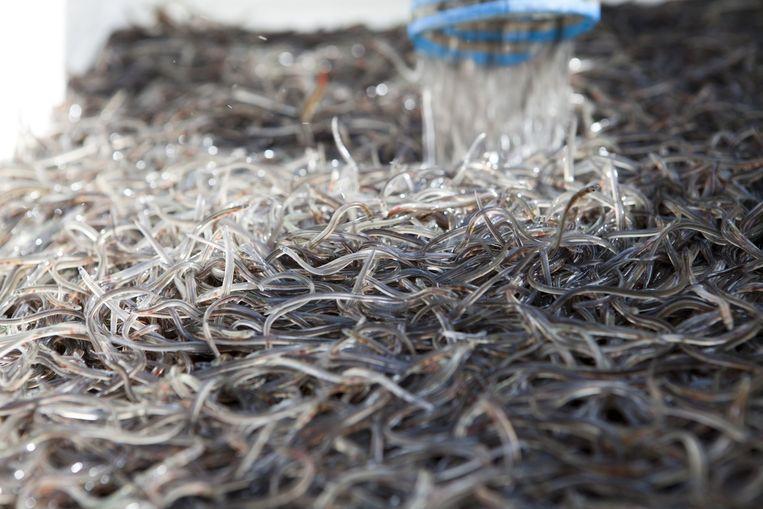 Glasaaltjes worden bij Woudsend uitgezet in het Slotermeer. Beeld Harry Cock / de Volkskrant