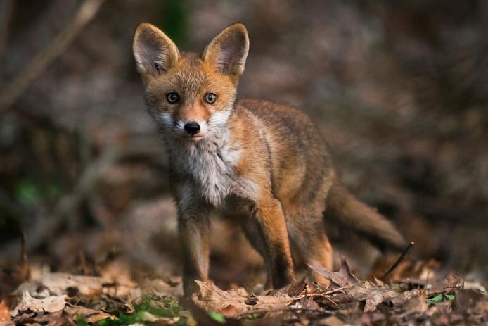 De vos waar Berith uren voor op de uitkijk zat om hem in de lens van haar fototoestel te krijgen.
