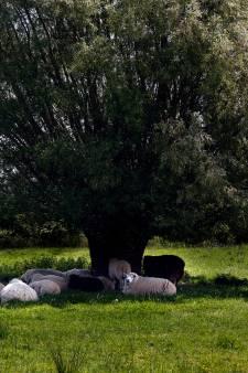 Schapen zoeken verkoeling onder 'boomparasol' in de Biesbosch
