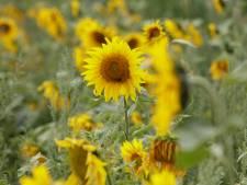 Geen lint van zonnebloemen dwars door Berkelland