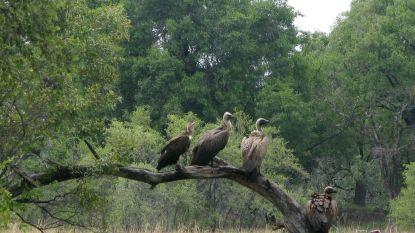 Afrikaanse gieren met uitsterven bedreigd: hun hersens worden opgerookt in een joint
