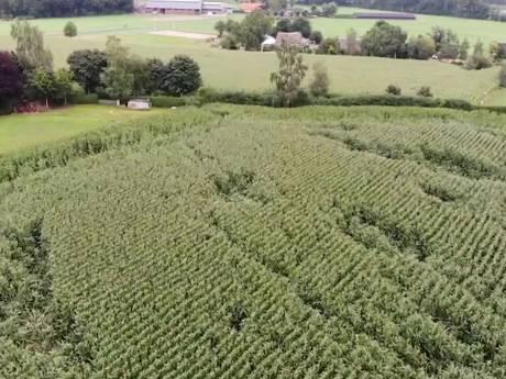 Wilde zwijnen veroorzaken grote schade in maisvelden bij Wapenveld en Heerde