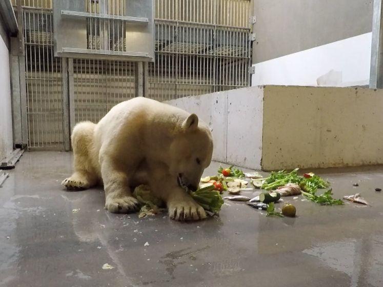 """Pairi Daiza verwelkomt twee nieuwe ijsberen: """"De gevaarlijkste van alle beren"""""""