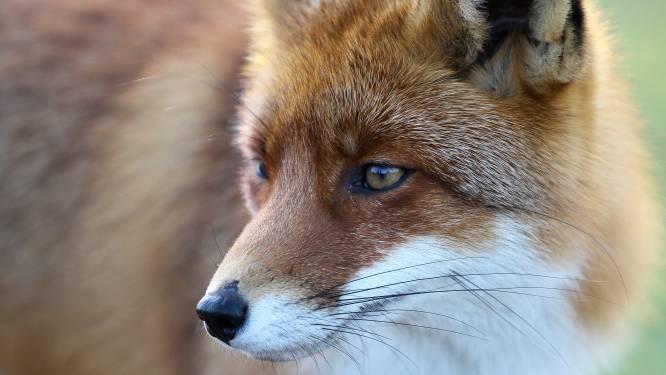 Erg besmettelijk virus (dat ook op honden kan worden overgedragen) doodt al 12 vossen