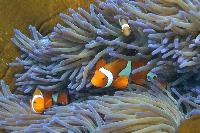 Anemoonvissen in Australië's Great Barrier Reef.