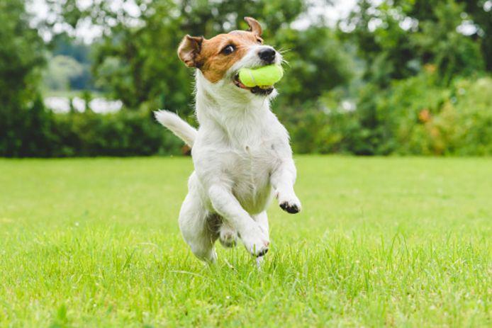 stockadr stockpzc hond spelen bal speelveldje honden tennisbal speeltje grasveld jack russel