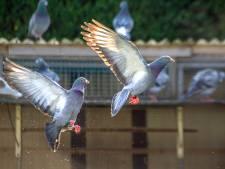 Twentse duivenmelkers blij: de duiven mogen weer vliegen