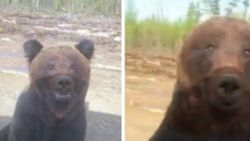 Ontmoeting met schattige beer ontspoort in slechts enkele seconden