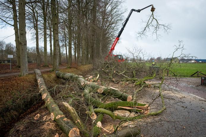Begin dit jaar liet de gemeente nog 73 Amerikaanse eiken kappen langs de Mheneweg Zuid in Oldebroek.