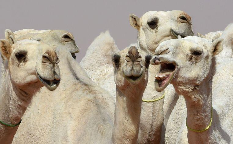 Het kamelenfestival in Saoedi-Arabië duurt 28 dagen en lokte al 300.000 toeschouwers.