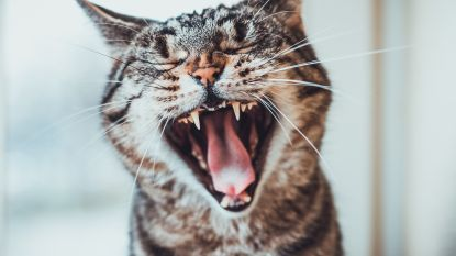 Dierenbescherming Vlaamse Ardennen vraagt financiële hulp om verbrande kat te redden
