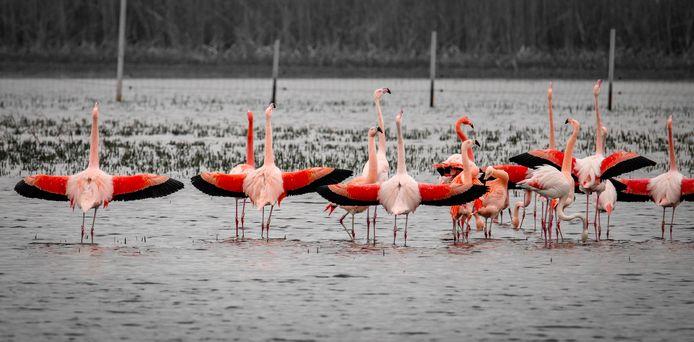 De flamingo's in het Zwillbrocker Venn, net over de grens bij Groenlo.