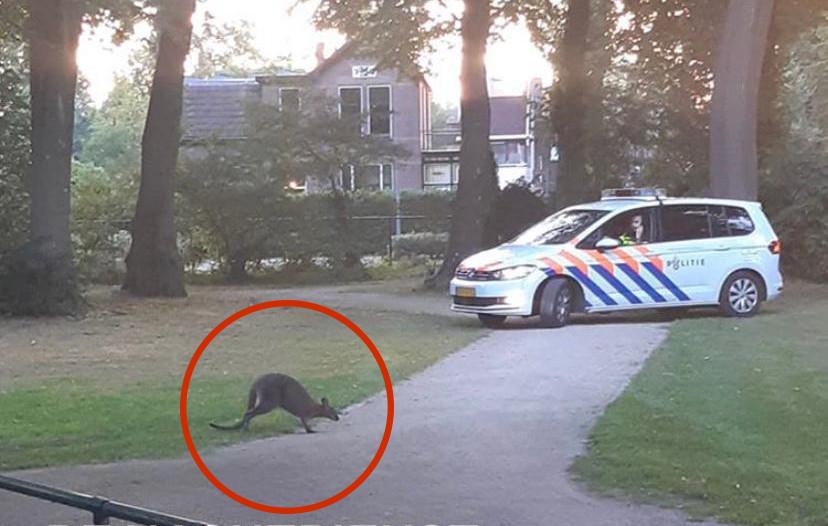 De ontsnapte wallaby dook op bij de Albert Heijn in Epe.