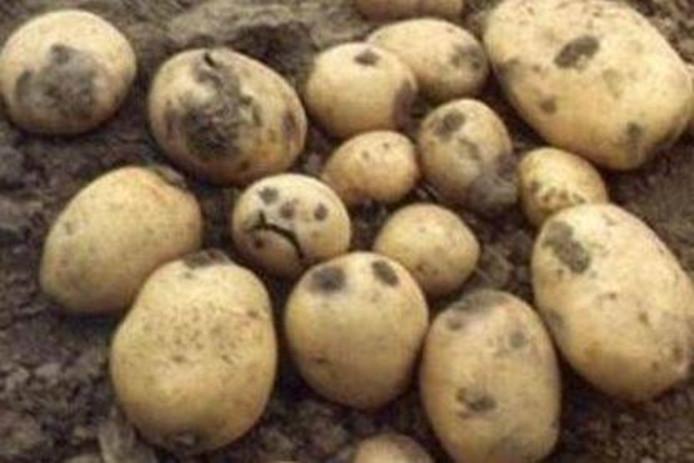 Bruinrot is een bekende ziekteveroorzaker in aardappelen