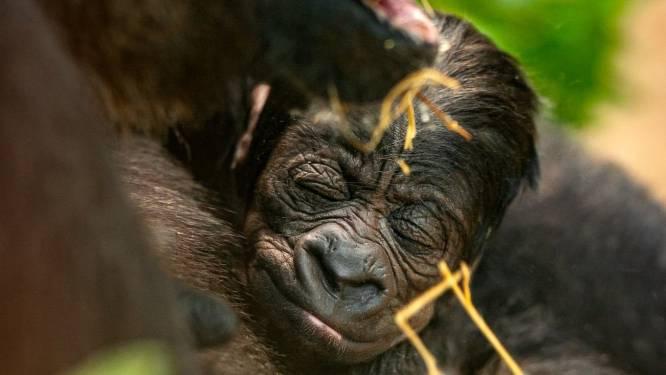 64 miljoen keer bedankt! Deze Antwerpse verhalen hebben jullie het hardst geraakt: van Operatie Nachtwacht en de eerste avondklok van het land tot het nieuwe gorillajong en 'coronageilheid'