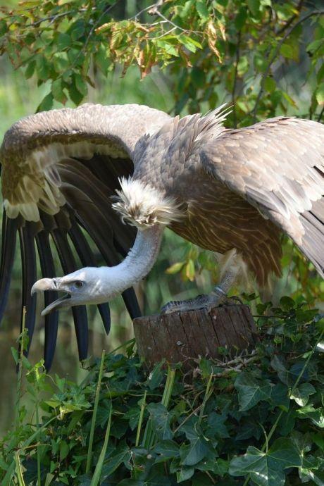 Avifauna heeft nu álle grote roofvogels op non-actief gezet na baby-incident