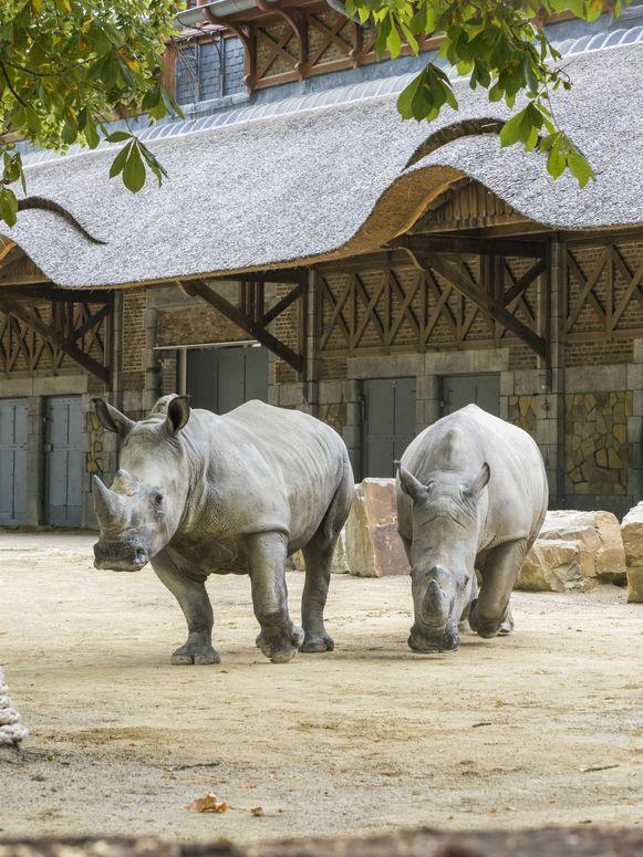 ZOO Antwerpen verwelkomt twee witte neushoorns.