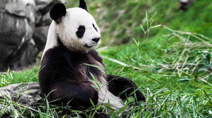 China wil pandapark creëren dat bijna 100 keer zo groot is als de Efteling