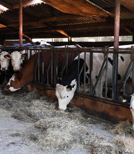 'Koeien beslissen zelf: ze blijven overdag liever binnen'