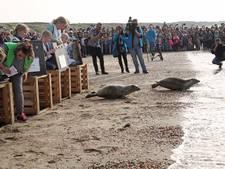 Publiek staat rijendik bij vrijlaten zeehonden